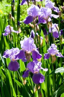 Purpere irisbloemen op groene tuin