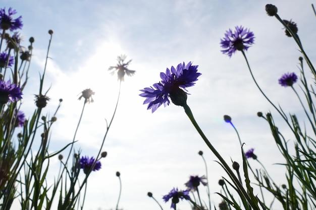 Purpere korenbloem met blauwe hemelachtergrond