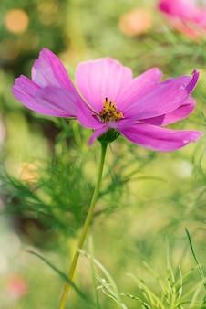 Purpere lilac dichte omhooggaand van bloemcosmea in een bloeiende tuin in de zomer