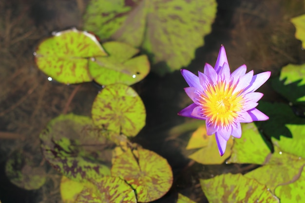 Purpere lotusbloem, groen bladerenclose-up