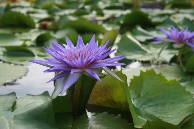 Purpere lotusbloem in het water