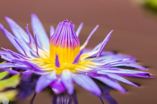 Purpere lotusbloem of purpere waterlelie in vijver