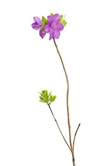 Purpere rododendronbloemen (de thee van labrador) op geïsoleerde tak.