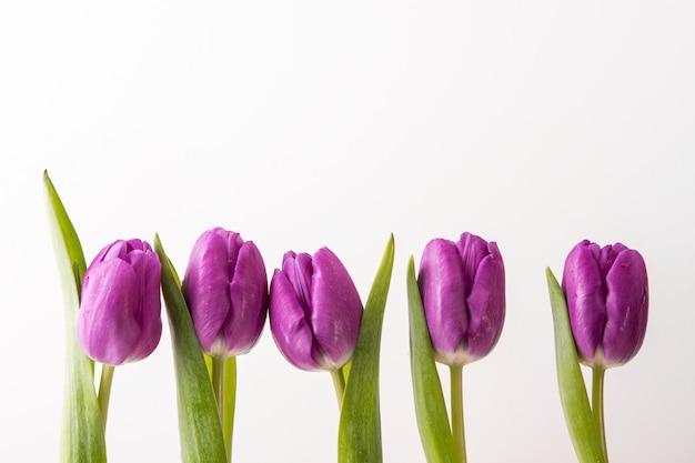 Purpere tulpen op een rij op witte muur
