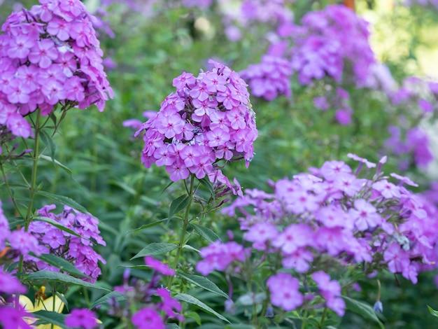 Purpere vlambloemen van phlox. bloeiende tuinphlox, vaste plant of zomerphlox in de tuin op een zonnige dag.