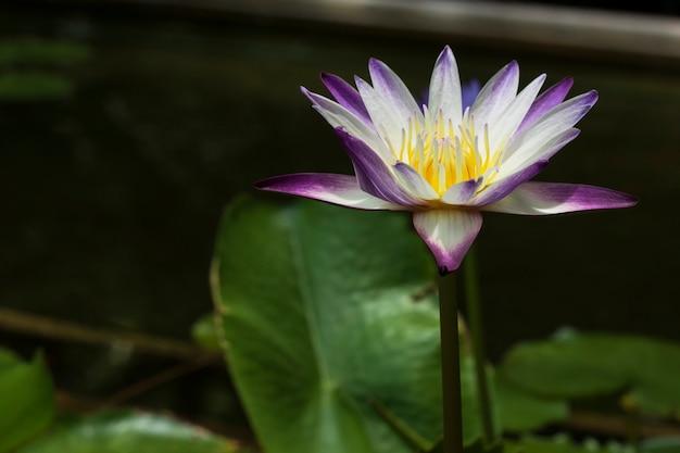Purpere witte lotusbloem en groen blad in vijver
