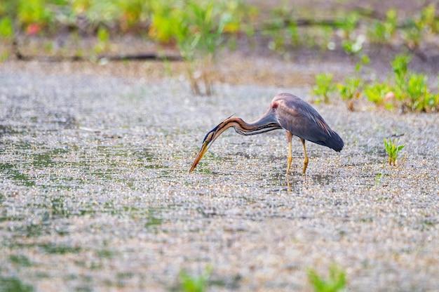 Purperreiger of ardea purpurea die in het moeras waden.