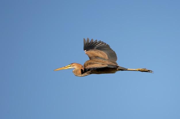 Purperreigervogel tijdens de vlucht op blauwe hemel