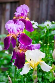 Purppe iris bloemen close-up op groene tuin