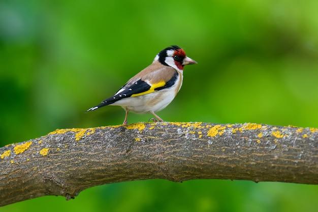Putter, carduelis carduelis, zittend op een tak. mannetje van kleurrijke zangvogel in park. wildlife scene uit de natuur