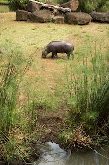 Pygmee nijlpaard