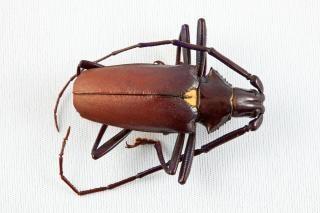 Pyrodes longiceps kever cerambycidae lichaam
