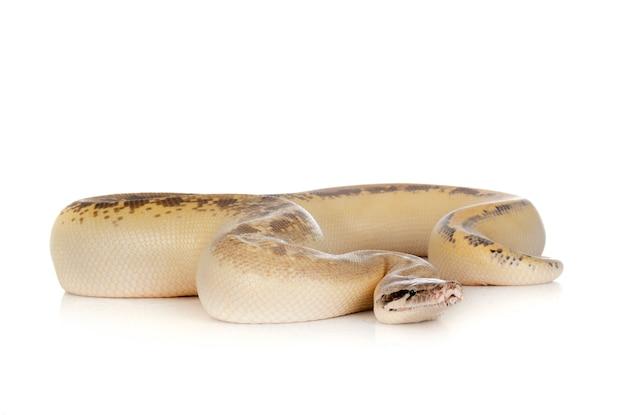 Python brongersmai geïsoleerd