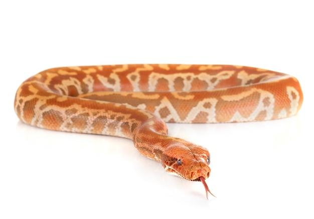 Python brongersmai in de studio