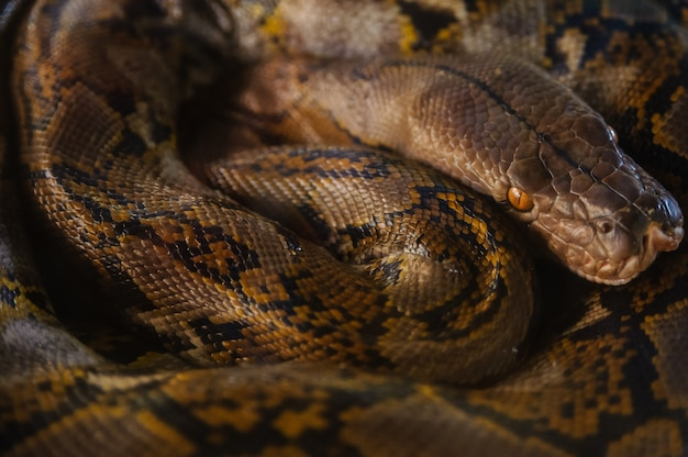 Python rustschakelaars schakelen. slangenboerderij in thailand.