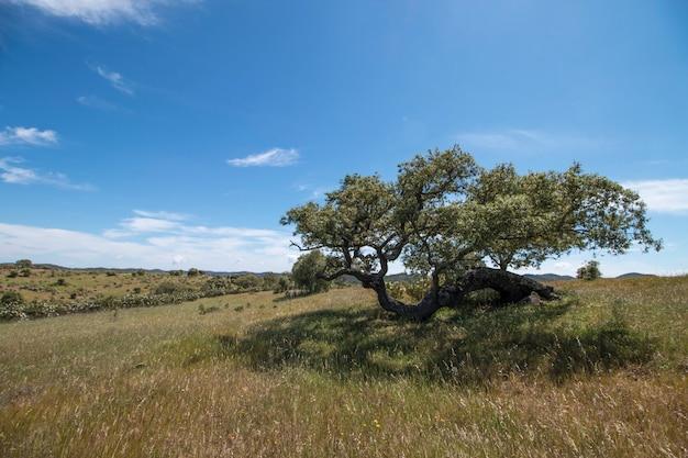 Quercus ilex boom