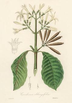 Quina (cinchona oblongifolia) illustratie uit medische plantkunde (1836)