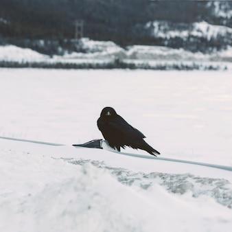 Raaf op sneeuwachtergrond