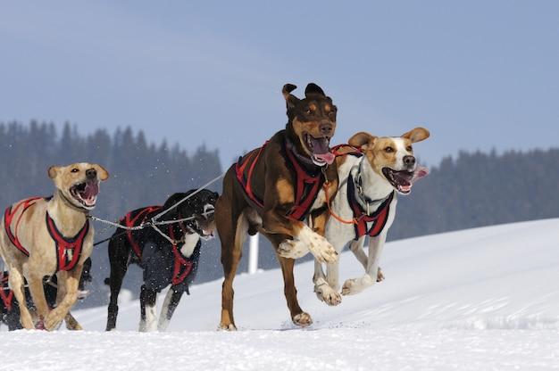 Racing hond in de sneeuw