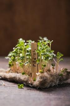 Radijs ontspruitende microgreens. zaadkieming thuis. veganistisch en gezond eten concept. groen woonconcept. biologisch voedsel.