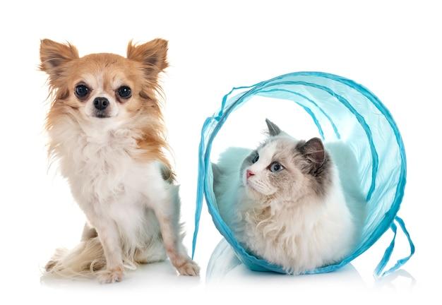 Ragdoll kat en chihuahua