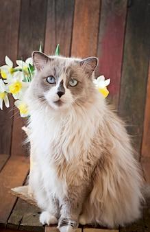 Ragdoll kattenras en een vaas met narcissen