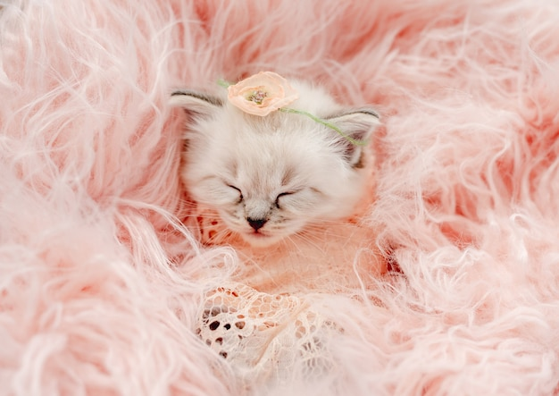 Ragdoll kitten foto's pasgeboren stijl