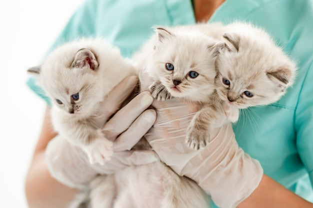 Ragdoll kittens bij dierenkliniek