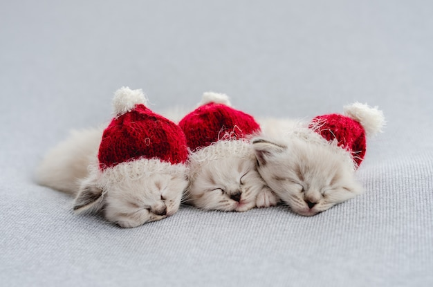 Ragdoll kittens foto's pasgeboren stijl