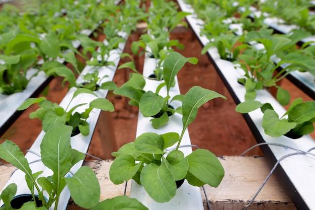 Raketsaladeplantage door hydrocultuursysteem