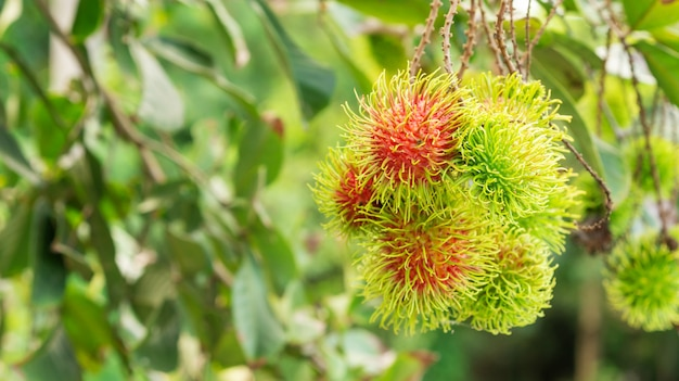 Rambutan fruit in een boomgaard.