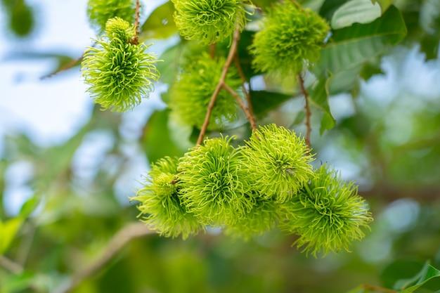 Rambutan van groene ramboetanbomen als het tijd is om te oogsten