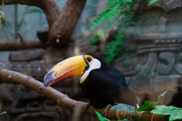 Ramphastos toco in de dierentuin