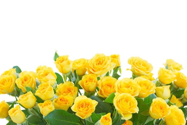 Rand van gele rozen geïsoleerd op wit