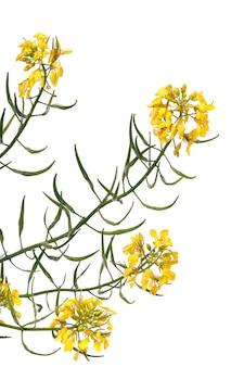 Rapaseed (brassica napus) bloem