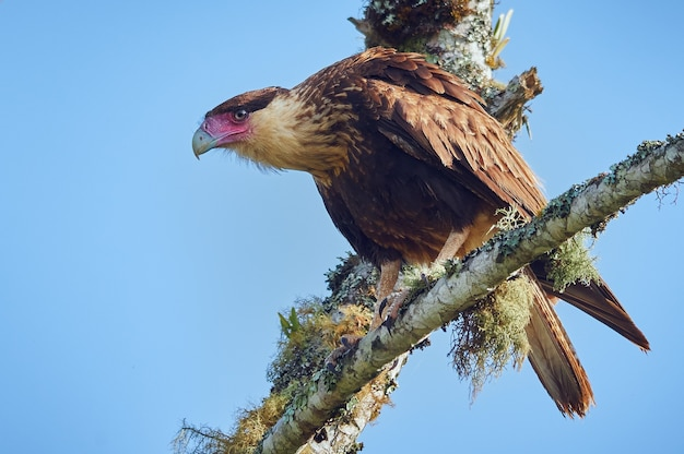 Raptor op zoek naar voedsel vanaf de top van een boom