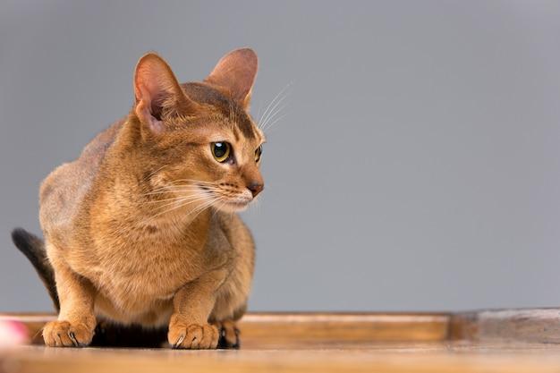 Rasecht abyssinian jong kattenportret