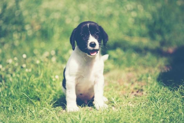 Rasechte beagle puppy leert de wereld in de eerste keer