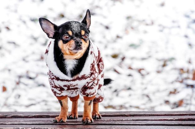 Rasechte chihuahua op een wandeling in de winter in kleding. een charmante outfit voor een hond. winterwandeling.