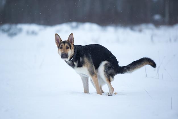 Rasechte duitse herdershond poept in de sneeuw