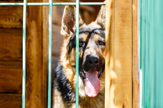 Rasechte herdershond in een kooi. grote hond in een kooi.