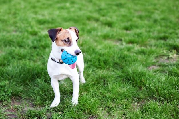 Rasechte jack russell terrier-hond in openlucht op aard in het gras. gelukkige hond in het park op een wandeling speelt met een stuk speelgoed. het concept van vertrouwen en vriendschap van huisdieren. actieve hond spelen. kopieer ruimte.