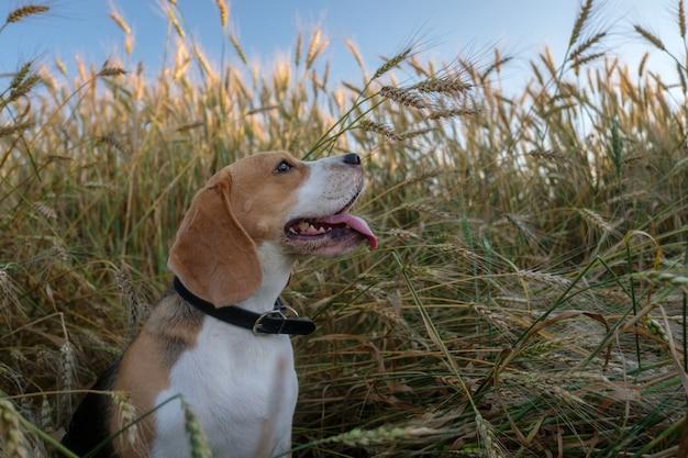 Raszuivere beagle voor een wandeling in de zomer tussen de rijpe gouden tarwe