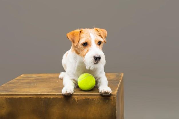 Raszuivere jack russell spelen met een tennisbal