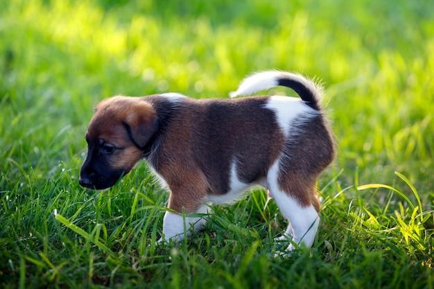 Raszuivere pup korthaar fox terrier, wandelingen in het park buiten, op het groene gras