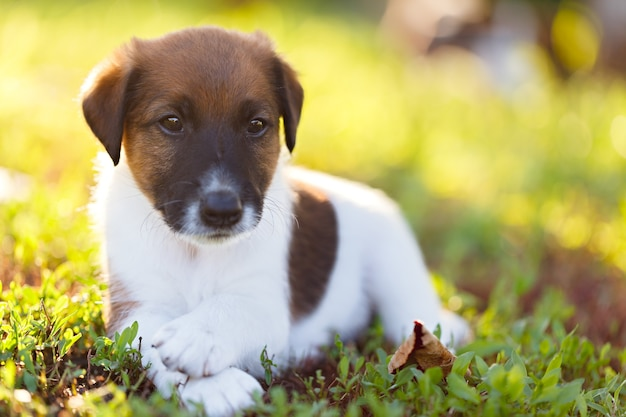 Raszuivere puppy korthaar fox terrier