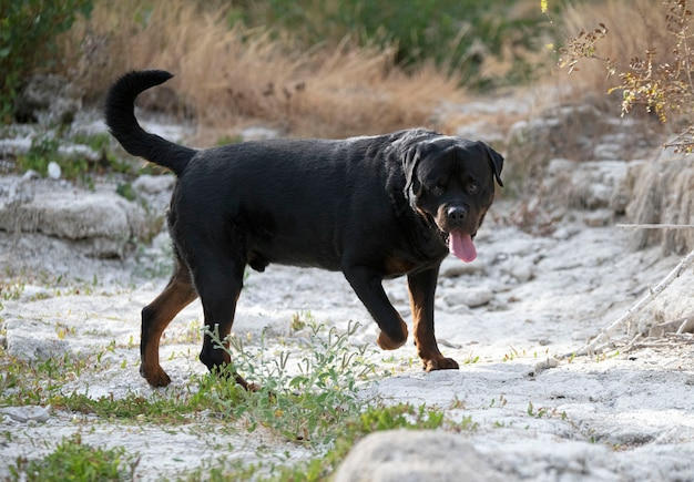 Raszuivere rottweiler poseren in de natuur in de zomer
