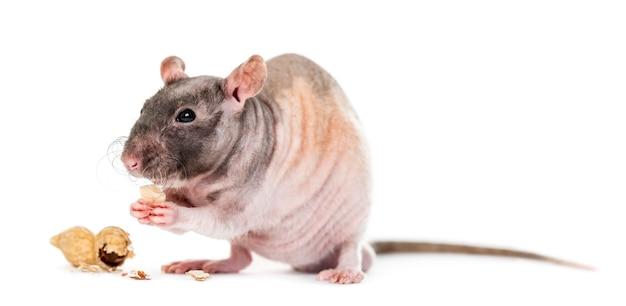 Rat die pinda eet, geïsoleerd op wit