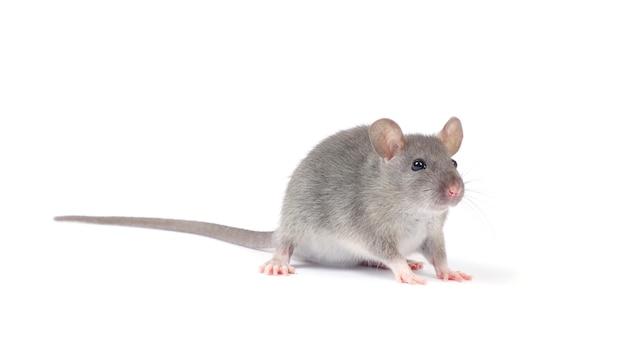 Rat geïsoleerd op een witte achtergrond