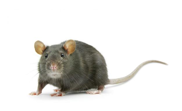 Rat geïsoleerd